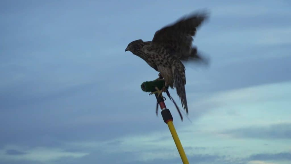 Falconry & Lawyering: It's All About The Team